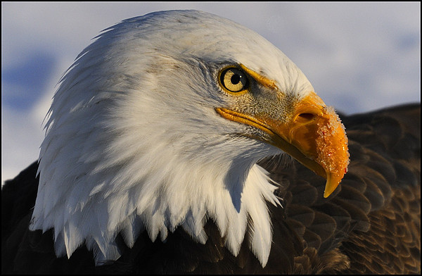 Bald Eagle in Winter