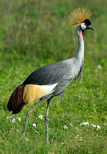 Grey Crowned-Crane