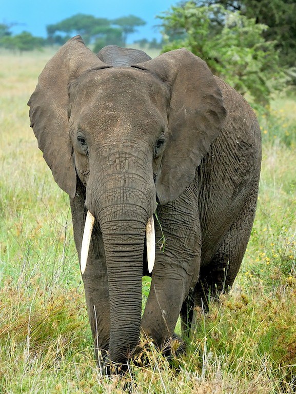 Portrait of an Elephant