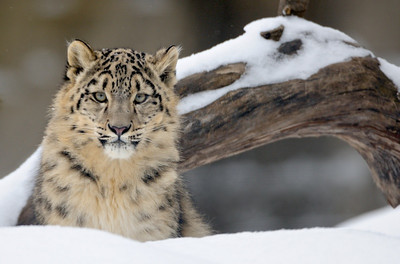 Little Snow Leopard