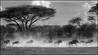 Wildebeests in the Serengeti