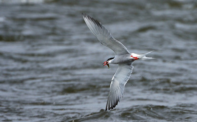 Tern fishing