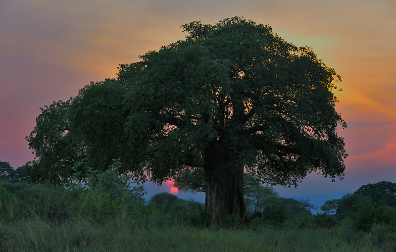 Baobab at sunset